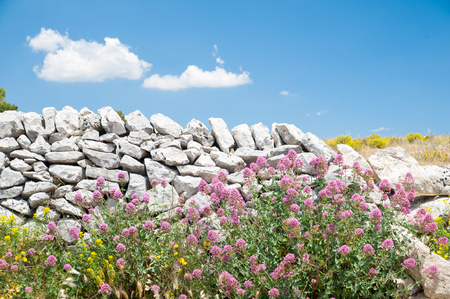 valerian plant: Valerian plant and a dry stone wall in the fields near Ragusa, Sicily