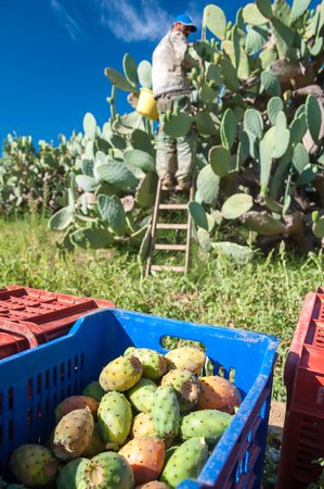 picker: Fruit box full of just picked prickly pears of the variety called bastardoni and a picker in the background Stock Photo