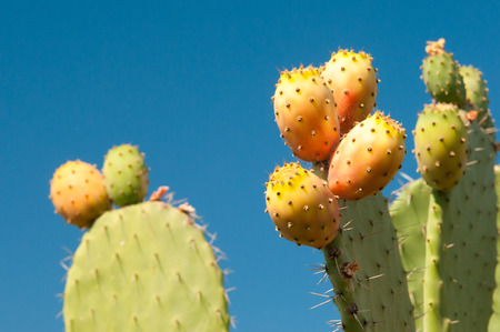prickly: Prickly pears on plant