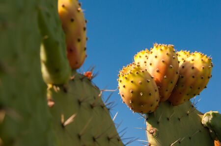 prickly: Prickly pears on a cactus plant