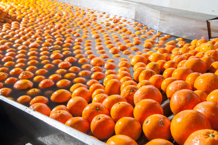 Tarocco orange fruits in a washing machine of a modern production line