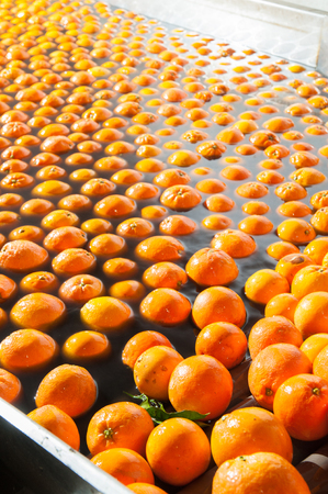 buffing: Tarocco orange fruits in a washing machine of a modern production line