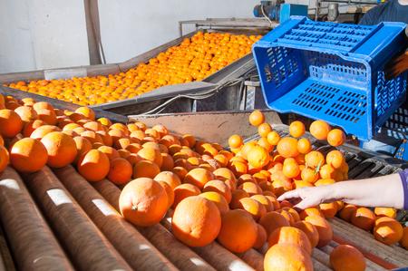 defoliation: Tarot orange fruits in a modern roll defoliation machine before the washing bath