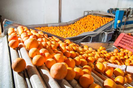 defoliation: Tarocco orange fruits in a modern roll defoliation machine before the washing bath
