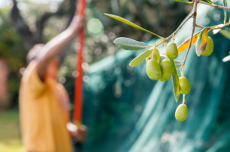 Close up view of some olives on a tree and a picker at work in the background