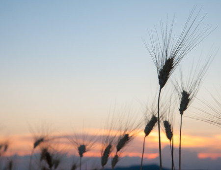 threshing: Silhouette of some ears of corn at dusk