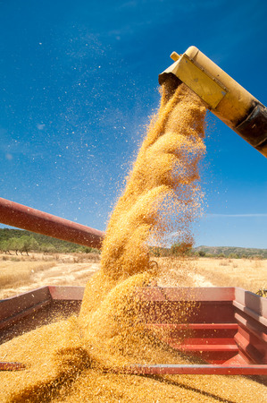 threshing: Threshing machine pouring the just harvested wheat into a silo Stock Photo