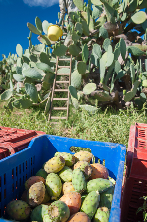 Fruit boxes full of just-picked prickly pears of the variety called bastardoni