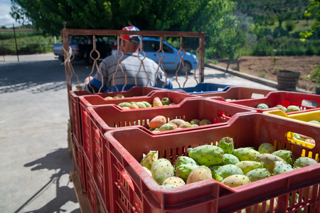Fruit boxes full of just picked prickly pears of the variety called bastardoni Stock Photo