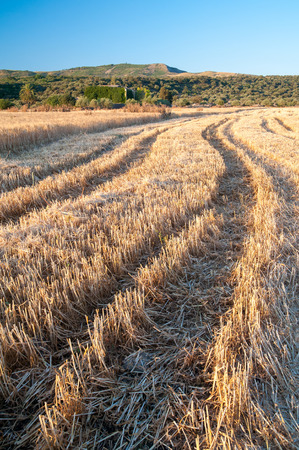 Tracks of a combine machine on a field of wheat