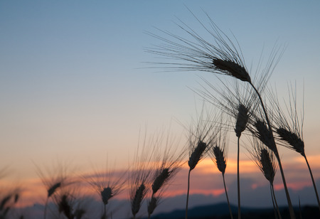 Silhouette of some ears of corn at dusk