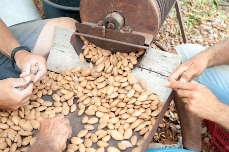 Farmers at work Selecting the almond nuts after the dehusking process, Noto, Sicily