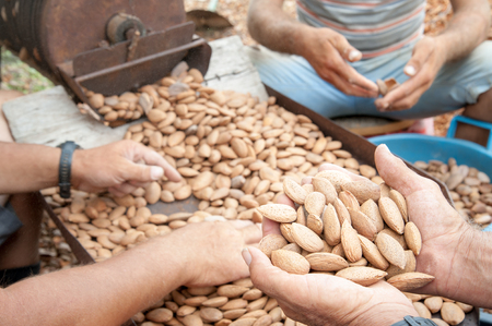 Farmer at work holding a little heap of almond nuts after the dehusking process, Noto, Sicily Stock Photo