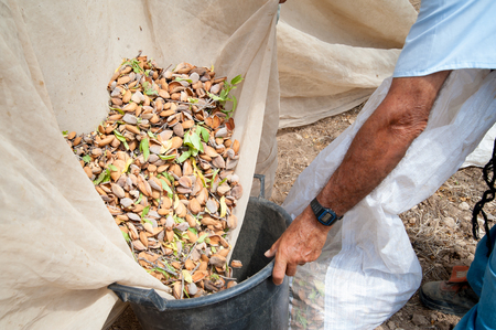 Pickers at work while fulling pails with just-picked almonds, Noto, Sicily