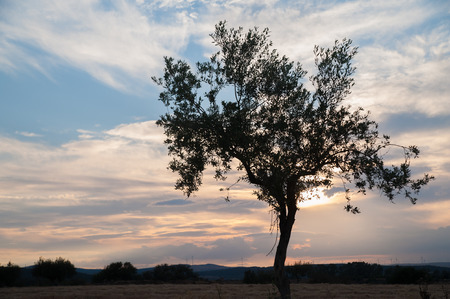 quietness: Olive tree at sunset against clouds and a blue sky