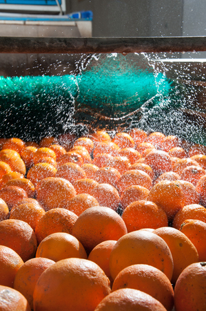 Tarocco oranges in the carriage During the washing process