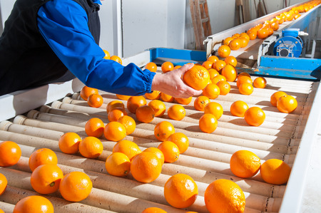 Manual checking of tarot oranges in the carriage of a modern production line