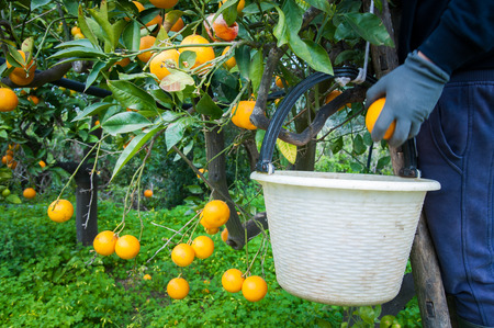 gatherer: Orange picker at work with his white basket