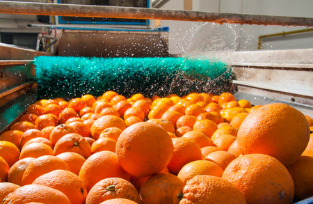 The process of washing and cleaning of citrus fruits in a modern production line