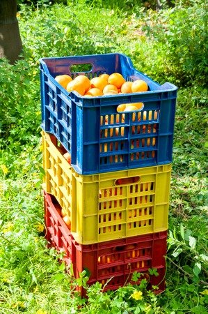 Fruit boxes full of just-picked oranges tarot