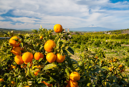 Close up view of oranges on the tree of a Sicilian grove with snowy Mount Etna in the distance Фото со стока