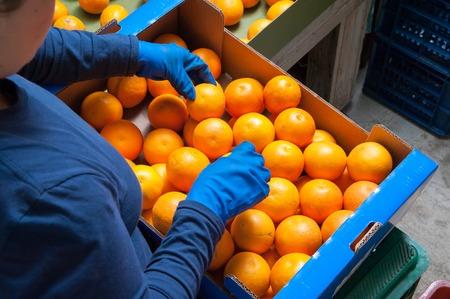 Los agricultores Seleccionando manualmente y luego poniendo sólo recogió las naranjas del tarot en las cajas Foto de archivo