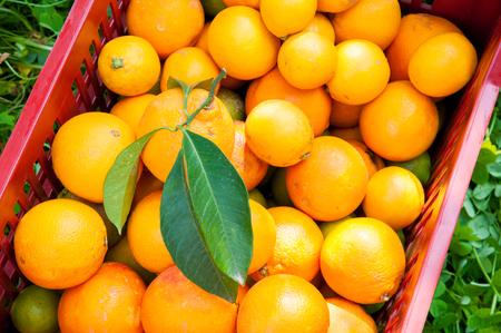 gatherer: Harvest time: fruit boxes full of just-picked oranges tarot
