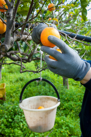 gatherer: Hands of a farmer while picking oranges during harvest time