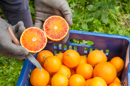 gatherer: Hands of a farmer holding a juicy cut orange during harvest time Stock Photo