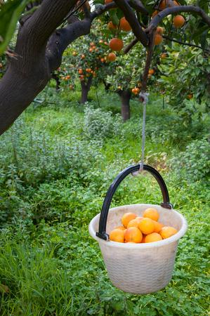 gatherer: White basket full of just picked tarocco oranges during harvest season