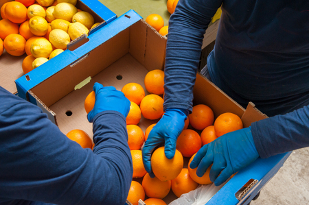 Farmers Selecting manually and then putting just picked the tarot oranges into boxes Stok Fotoğraf - 74554339