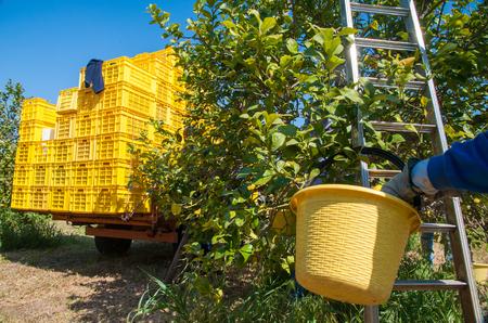 Pail full of lemons lemon During picking time in Sicily
