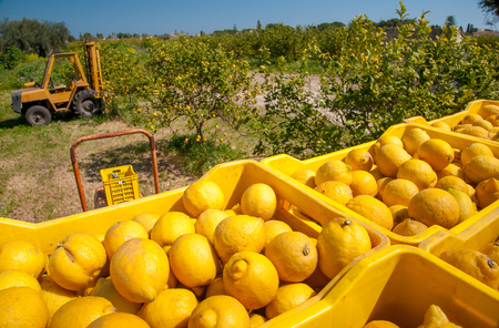 Boxes full of lemons in a citrus grove near Syracuse, Sicily Stock Photo