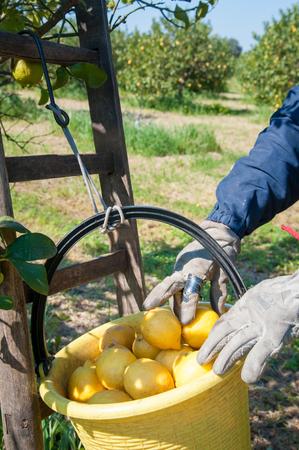 Pail full of lemons during lemon picking time in Sicily