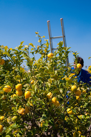Lemon tree and wooden ladders during harvest season