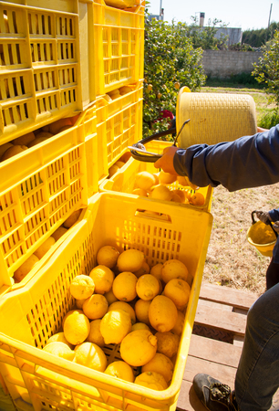 Picker at work unloading His pail full of lemons into bigger fruitboxes
