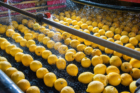 Primofiore lemons of the variety Femminello Siracusano during the washing process of a modern production line Foto de archivo