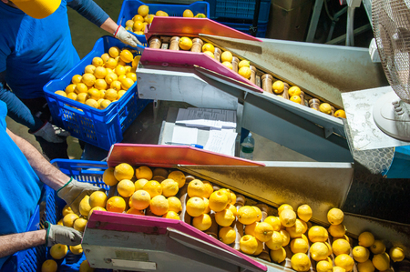 Primofiore lemons of the variety Femminello Syracuse During The manual packaging process in a modern production line Фото со стока - 75317945