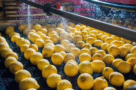 Primofiore lemons of the variety Femminello Siracusano during the washing process of a modern production line Stock Photo