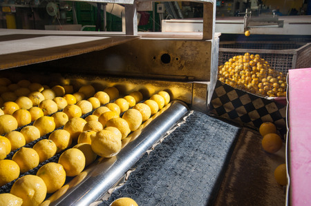 yello: Femminello lemons after the washing process in the carriage for the selection and calibration phase