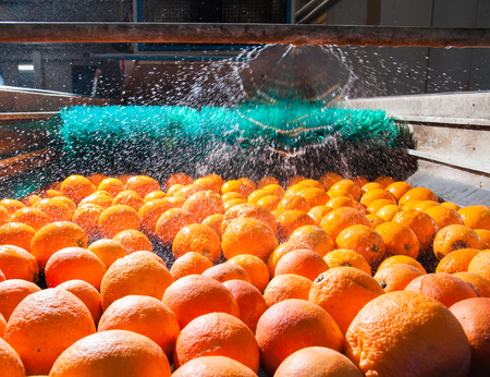 Sicilian tangerins during the washing process in a modern production line