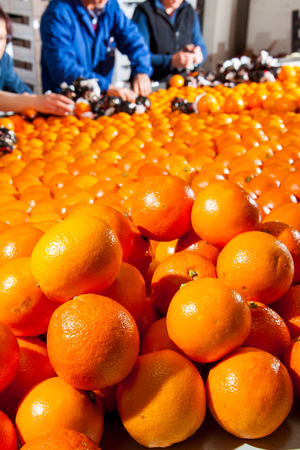 storehouse: Tarocco oranges in a storehouse ready to be packaged and fruit boxes in the background