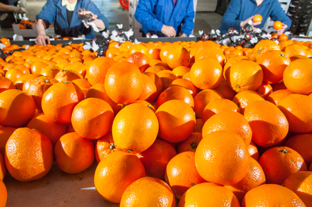 separating: Tarot oranges in a storehouse ready to be packaged and fruit boxes in the background