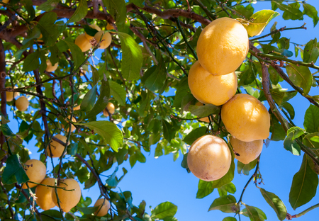 Primofiore femminello lemon from Syracuse during harvest time