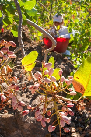 characteristic: Closeup view of a pistachio bunch on tree and a picker at work in the background, Bronte, Sicily