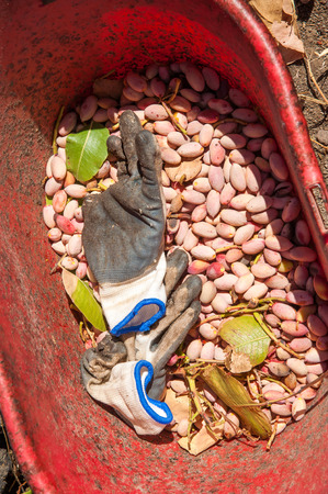 grooves: Red pail full of just picked pistachios of Bronte, Sicily