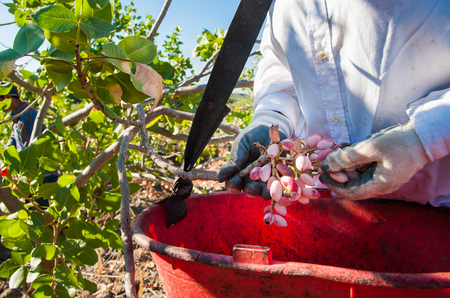 Pistachio picker at work with his red pail during harvest season in Bronte, Sicily