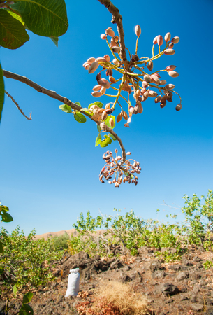 characteristic: Closeup view of a pistachio bunch on tree during harvest time in Bronte, Sicily Stock Photo