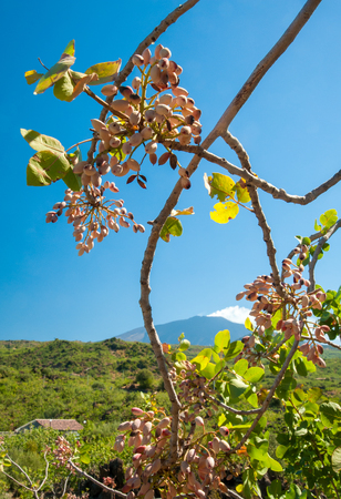 grooves: Closeup view of a pistachio bunch on tree during harvest time in Bronte, Sicily, and Mount Etna in the distance