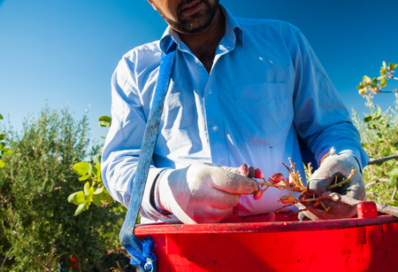grooves: Pistachio picker at work with his red pail during harvest season in Bronte, Sicily